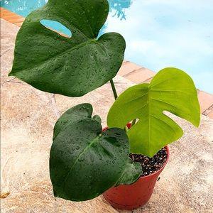 """6"""" Monstera Deliciosa Plant"""